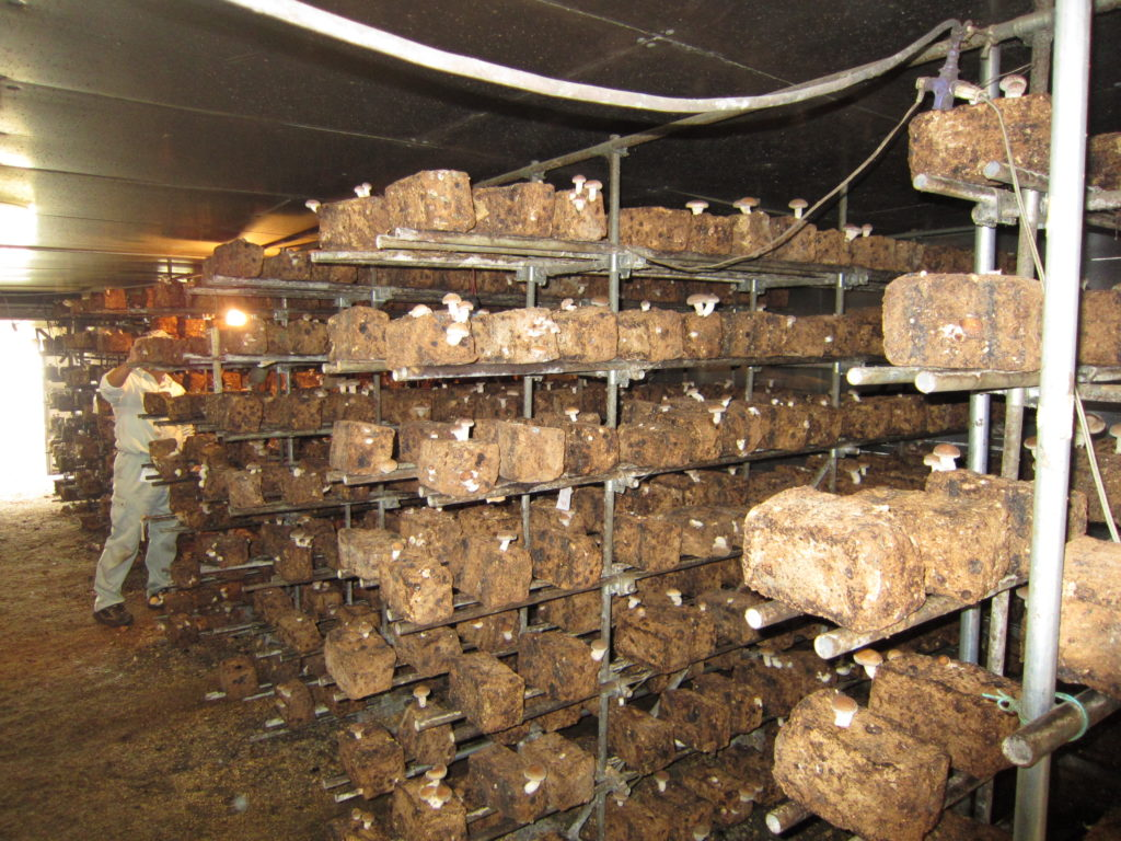 菌床椎茸の栽培